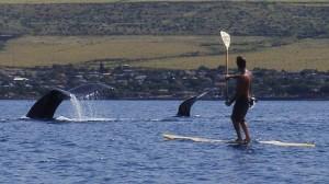 Buckelwal auf Maui