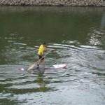 Stand Up Paddling auf dem Rhein